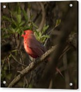 Cardinal In The Spotlight Acrylic Print