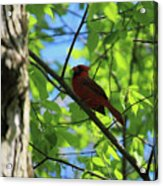 Cardinal In The Springtime Acrylic Print