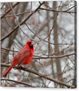 Cardinal In The Winter Acrylic Print