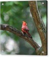 Cardinal In Tree Acrylic Print