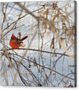 Cardinal In Winter 2 Acrylic Print
