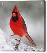 Cardinal In Winter Acrylic Print