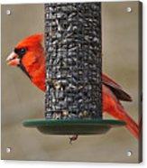 Cardinal On Feeder Acrylic Print