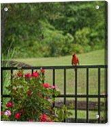 Cardinal On Fence Acrylic Print