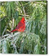Cardinal On Ice Acrylic Print