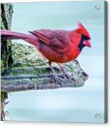 Cardinal Perched Acrylic Print
