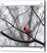 Cardinal Perched On A Branch Acrylic Print