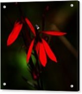 Cardinal  Plant Acrylic Print