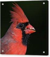 Cardinal Portrait Acrylic Print