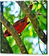 Cardinal Red Acrylic Print