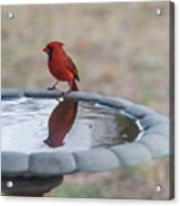 Cardinal Reflection Acrylic Print