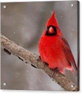 Cardinal Snowstorm Acrylic Print