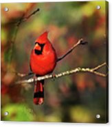 Cardinal Territory Acrylic Print