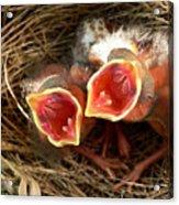 Cardinal Twins - Open Wide Acrylic Print