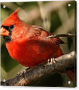 Cardinal Up Close Acrylic Print
