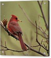 Cardinal With Seed Acrylic Print