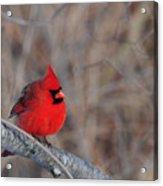 Cardinalis Cardinalis Acrylic Print