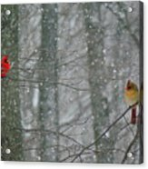 Cardinals In Snow Acrylic Print