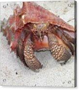 Caribbean Hermit Crab Acrylic Print