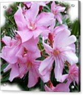 Caribbean Oleander Acrylic Print