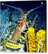 Caribbean Reef Lobster Acrylic Print