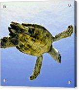 Caribbean Sea Turtle Acrylic Print
