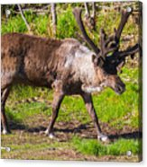 Caribou Antlers In Velvet Acrylic Print