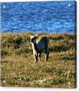 Caribou Fawn Acrylic Print