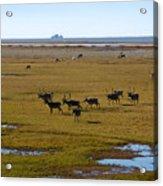 Caribou Herd Acrylic Print