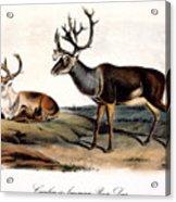 Caribou (rangifer Caribou): Acrylic Print