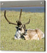 Caribou Rest Acrylic Print