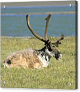 Caribou Resting Acrylic Print