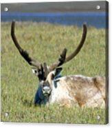 Caribou Resting In Tundra Grass Acrylic Print