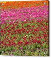 Carlsbad Flower Fields Acrylic Print