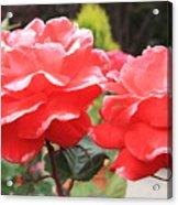 Carmel Mission Roses Acrylic Print