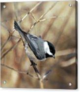 Carolina Chickadee - Birds At Bisset Park Acrylic Print