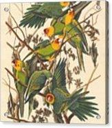 Carolina Parrot Acrylic Print