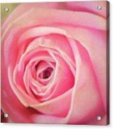 Carolina Rose Acrylic Print