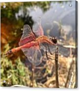 Carolina Saddlebag Dragonfly Acrylic Print