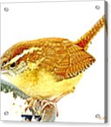 Carolina Wren On Bird Feeder Animal Portrait Acrylic Print