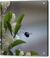 Carpenter Bee In Flight Acrylic Print