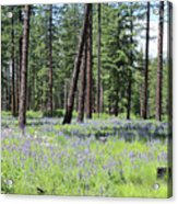 Carpet Of Lupine In Washington Forest Acrylic Print