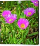 Carpobrotus Edulis Pink Ice Plant Acrylic Print