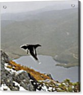 Carrawong In Flight Over Cradle Mountain Acrylic Print