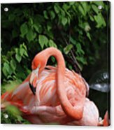 Carribean Flamingo Bird Ruffling His Feathers Acrylic Print
