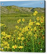 Carrizo Plain Yellow Daisies Acrylic Print