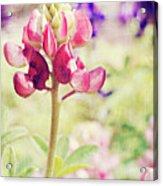 Carte Postale Red Bluebonnet Acrylic Print
