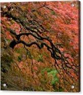 Cascading Japanese Maple Acrylic Print