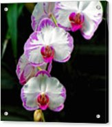 Cascading Orchid Beauties Acrylic Print