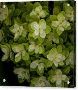 Cascading White Blossoms 2 Acrylic Print